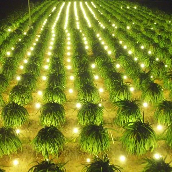 Thanh long có giá cao trở lại, nhà vườn Bình Thuận kỳ vọng vụ tết