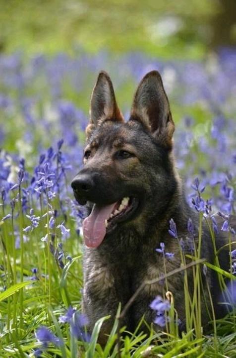 Mua bán chó Becgie Đức thuần chủng tại TPHCM - Bán chó Becgie giá rẻ