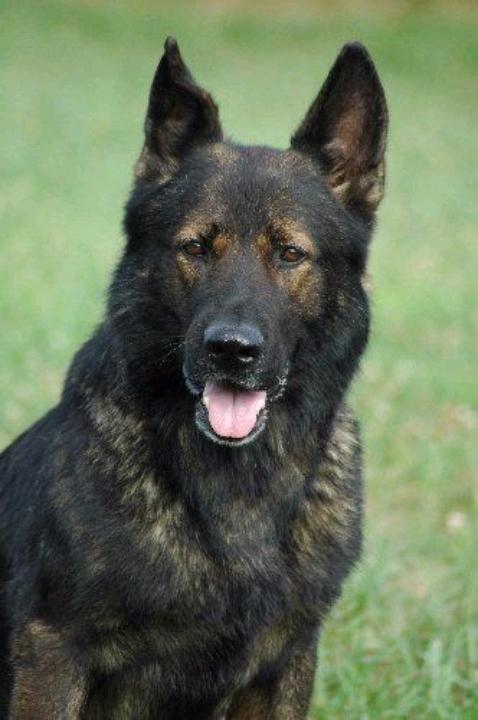 Mua bán chó Becgie Đức thuần chủng | Hotline 0981040607