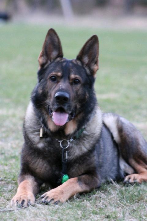 Bán chó becgie 10 tháng đã huấn luyện. 0984108983