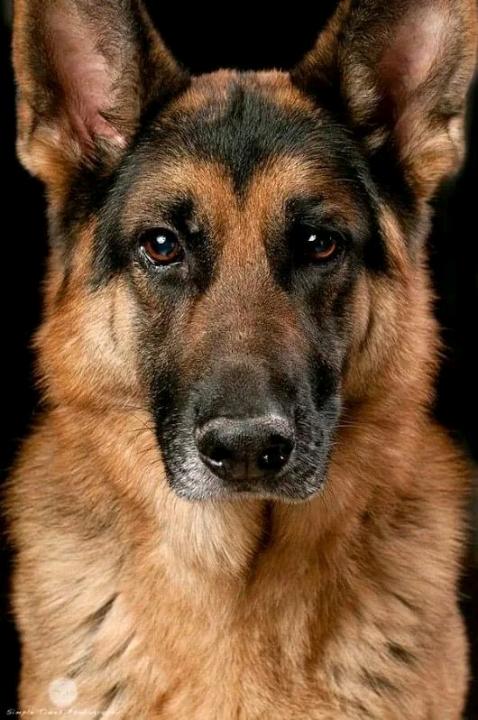 Thức ăn dành cho chó Becgie. Cho Becgie Đức ăn bao nhiêu là đủ?