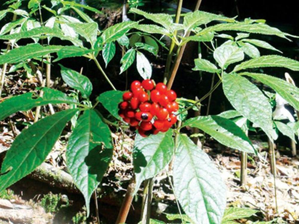 Đổ xô săn lùng cây giống sâm Ngọc Linh: Cẩn trọng mua phải hàng giả chục triệu đồng
