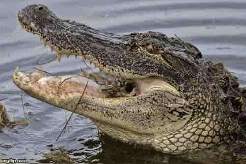 Giải mã bí ẩn hiện tượng nước mắt cá sấu