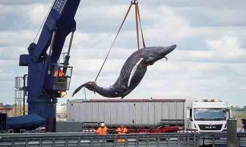 Cá voi lưng gù bị tàu đâm trên sông Thames - VnExpress