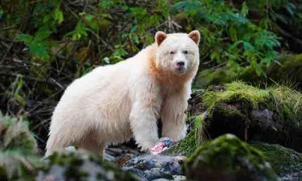 'Gấu thần linh' quý hiếm xuất hiện ở Canada - VnExpress