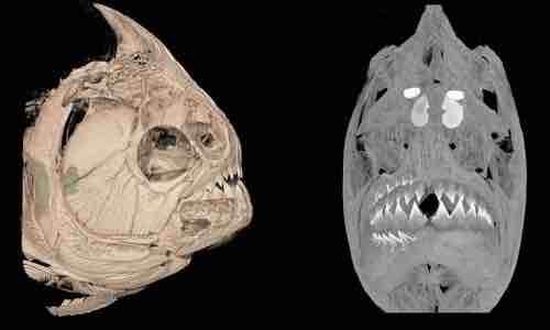 Cách mọc răng giúp cá piranha ăn sạch mọi thứ - VnExpress