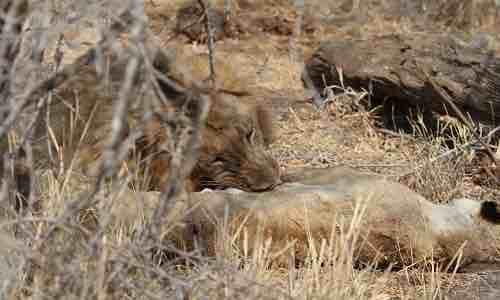 Đôi sư tử đực giết và ăn thịt sư tử cái - VnExpress
