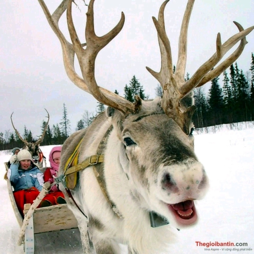 Tuần Lộc Vàng (24K) đón Noel 🎅❄☃❄🎄❄🎁