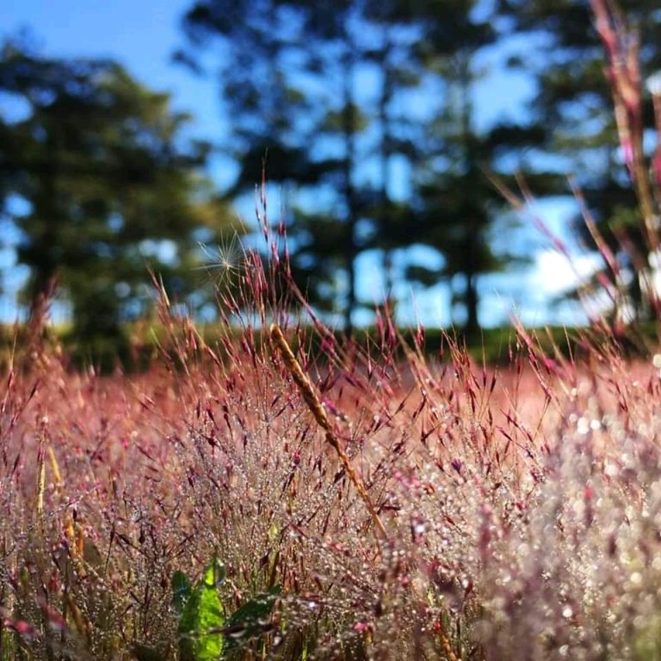 Đồi cỏ hồng tưởng chừng không đẹp