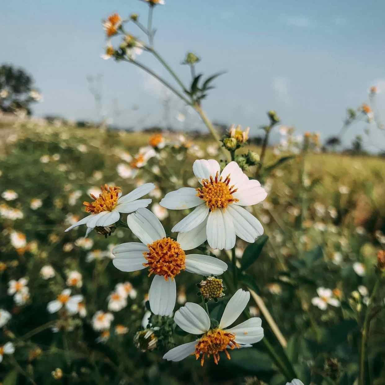 Xuân Ký - Xuyến chi loài hoa dại Mang trong mình sức sống phi thường Em là loài hoa đồng quê Cánh nhỏ xinh, chen nhuỵ sắc vàng Dịu dàng e ấp