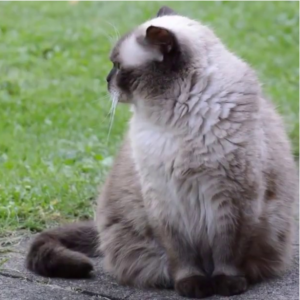 Mèo ù
