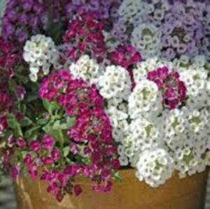 Hạt giống hoa ngàn sao
