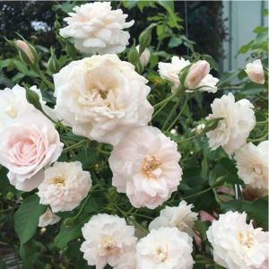 Hoa hồng leo phớt hồng